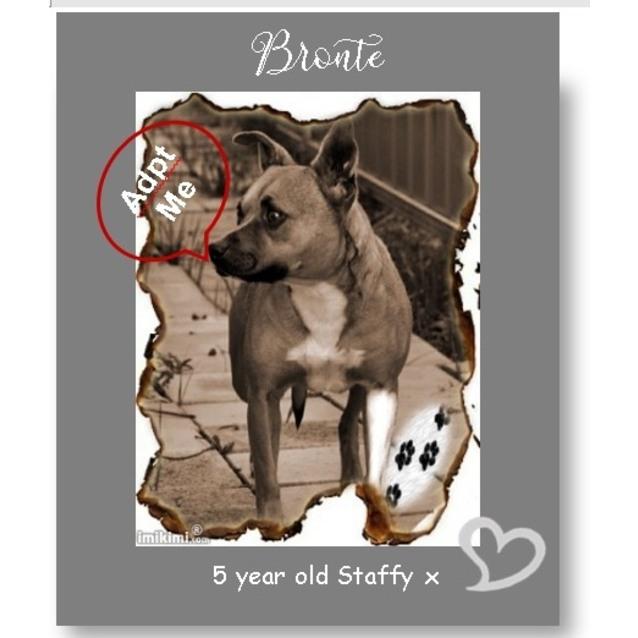 Photo of Bronte ~ 5yo Female Staffy X