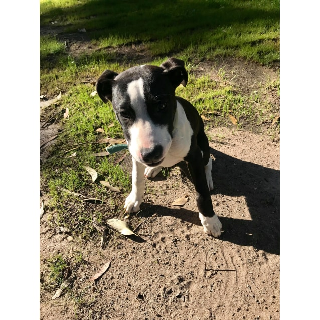Photo of Millie ~ Bull Arab X Catahoula (Relisted)