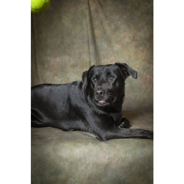 Photo of Snoozy ~ Labrador X (On Trial 3/11/18)