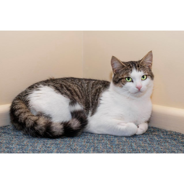 Photo of Yaron **2nd Chance Cat Rescue**