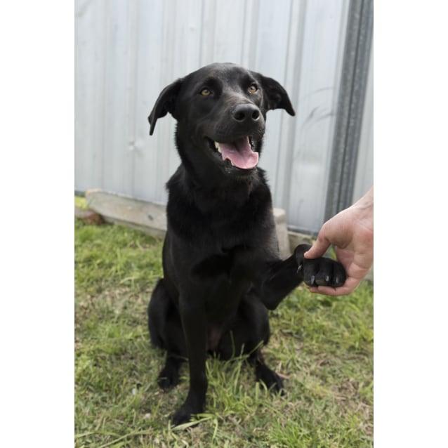 Photo of Laika ~ 1 Year Old Labrador X Kelpie