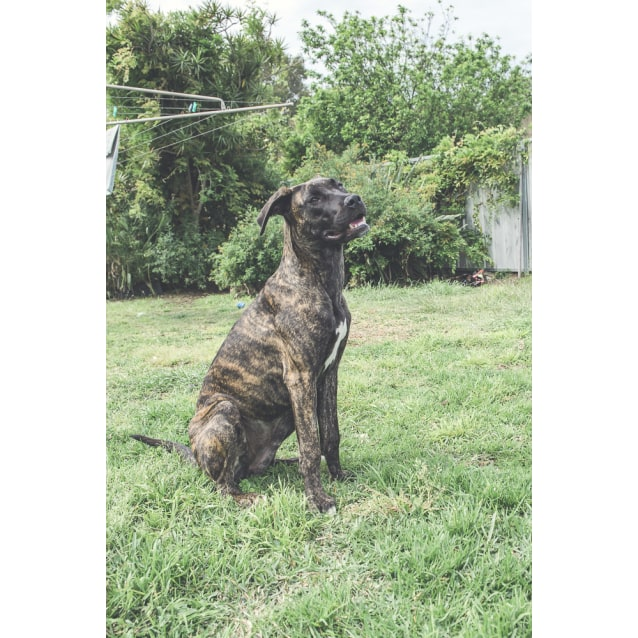 Photo of Nova ~ Mastiff X Great Dane (On Trial 19/11/18)
