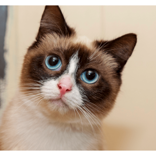 Hunny Sc0606 Female Ragdoll X Snowshoe Cat In Wa Petrescue