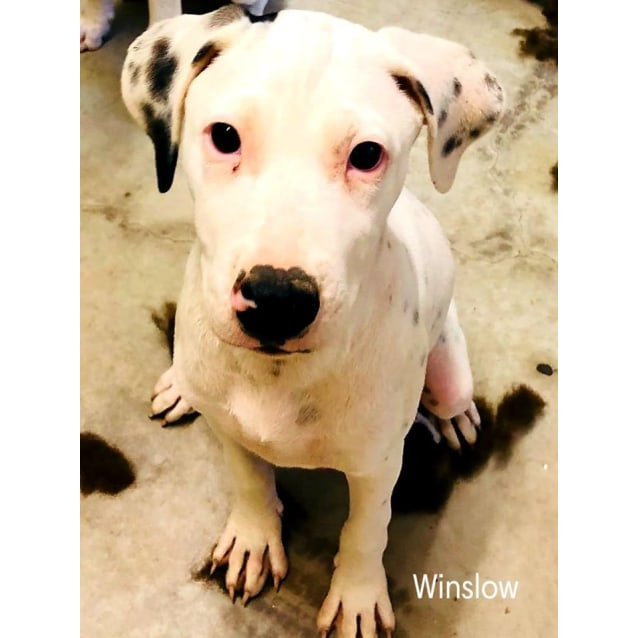 Photo of Winslow (Puppy)