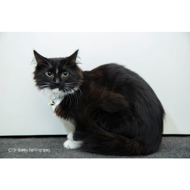 Ak2793 Onyx Male Domestic Medium Hair Cat In Wa Petrescue