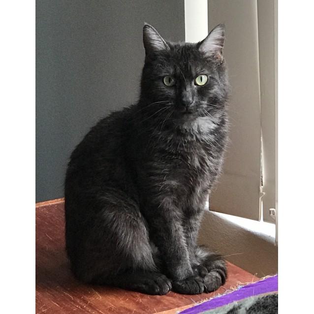 Photo of Shadow The Black Smoke Tabby.
