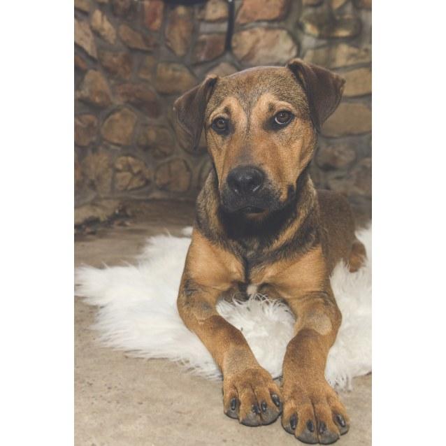 Photo of Elliott ~ Rottweiler X Mastiff (On Trial 9/12/18))