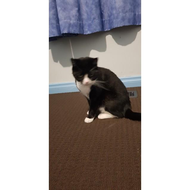 Photo of Angelica The Sweetest Tuxedo Girl Cat