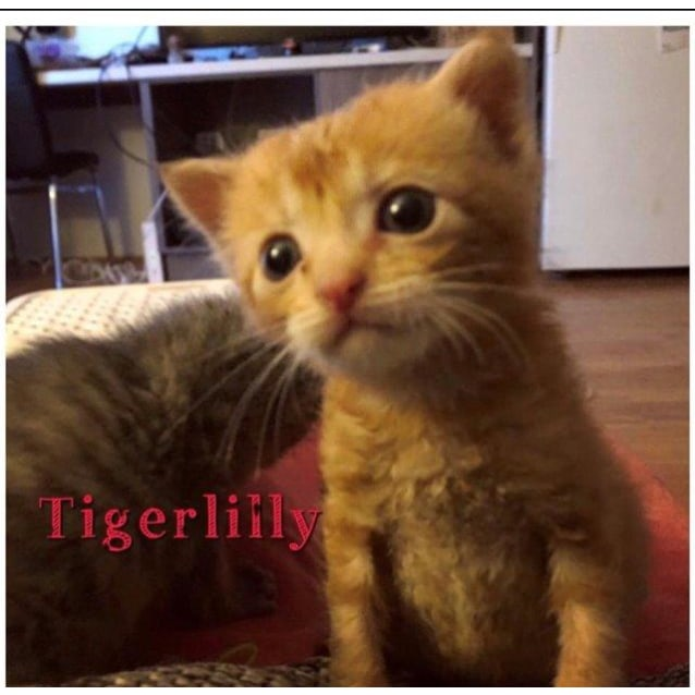 Photo of Tigerlilly