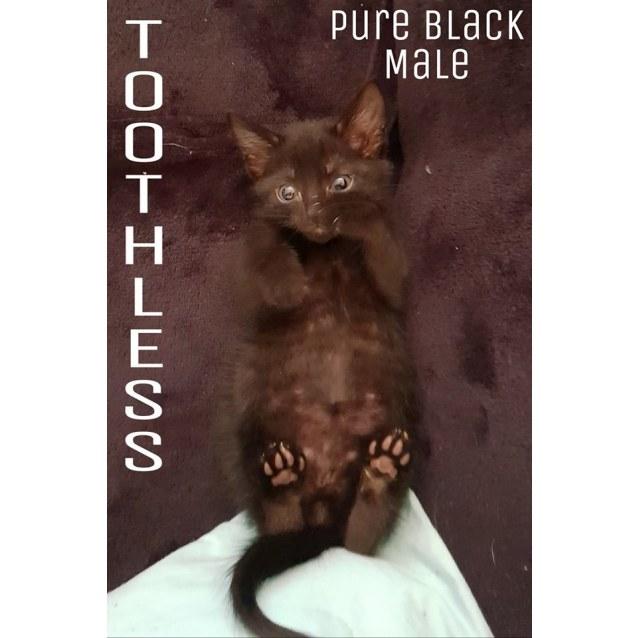 Photo of Toothless The Black Kitten