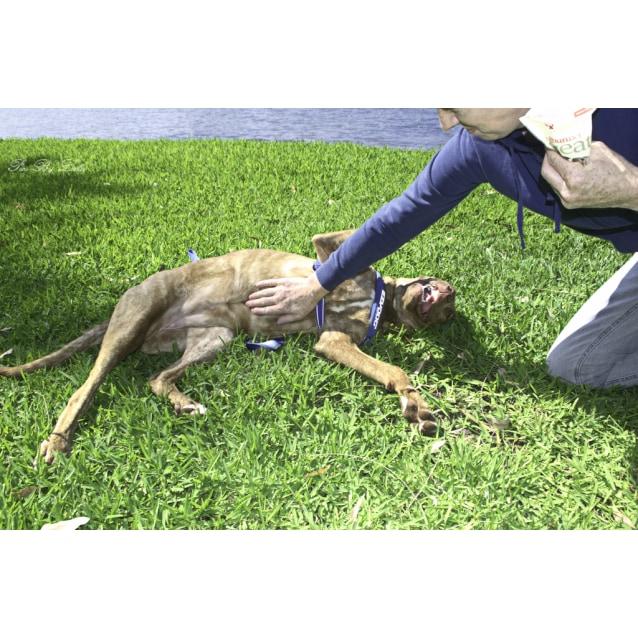 Photo of Chloe ~ Great Dane X Mastiff (On Trial 22/12/18)