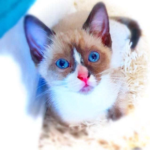 Milk Bean Female Ragdoll X Snowshoe Cat In Qld Petrescue