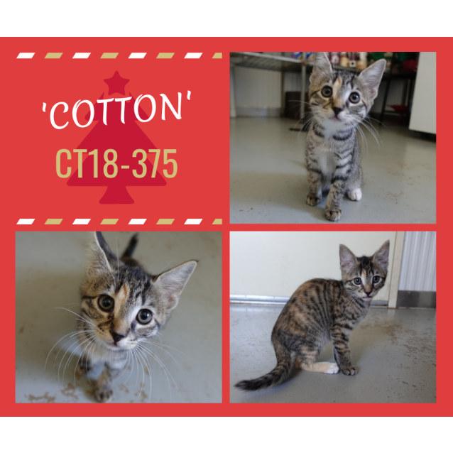 Photo of Cotton  Ct18 375
