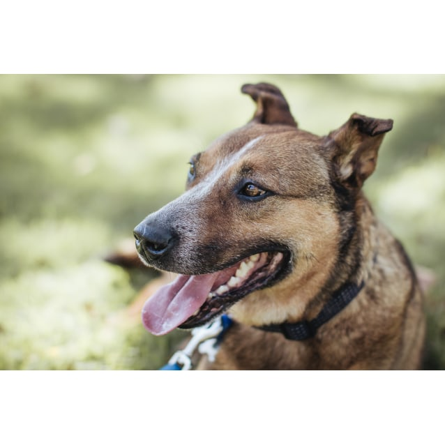 Photo of Sid ~ 9 Year Old Red Cattle Dog X
