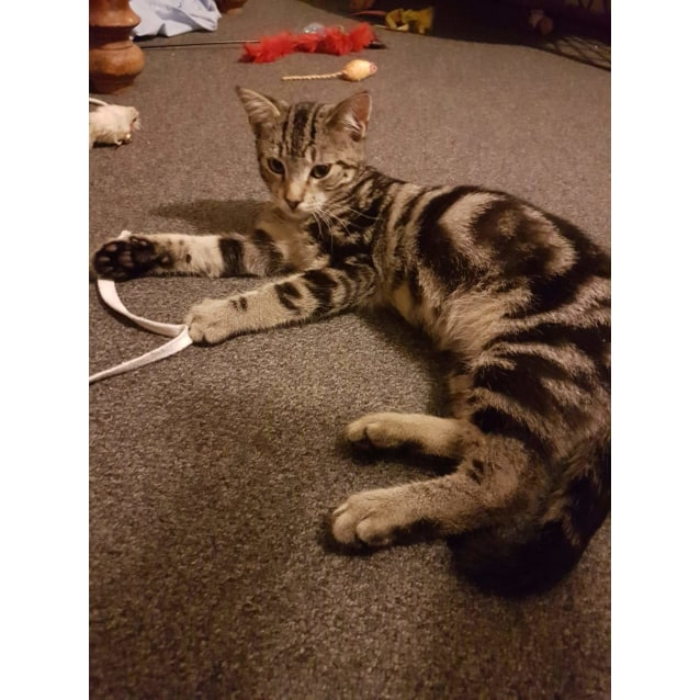 Gizmo - Male Bengal Mix Cat in NSW - PetRescue
