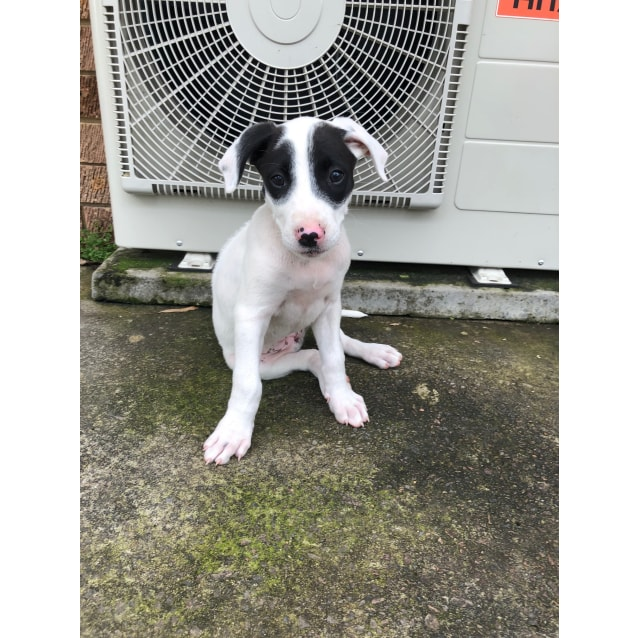 Photo of Miley ~ German Shorthaired Pointer X Bull Arab Pup