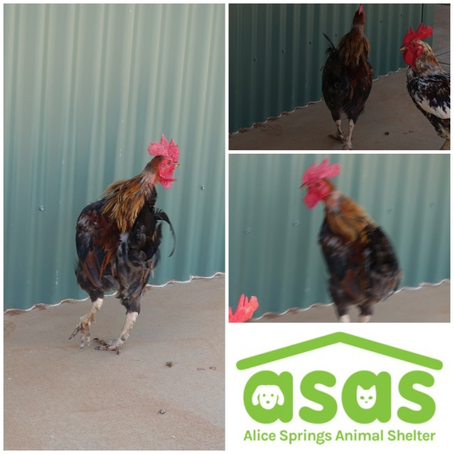 Photo of Rooster 1