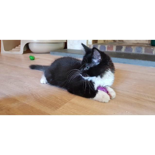 71a7f5267 Kiro Del Rio - Male Domestic Short Hair Cat in VIC - PetRescue