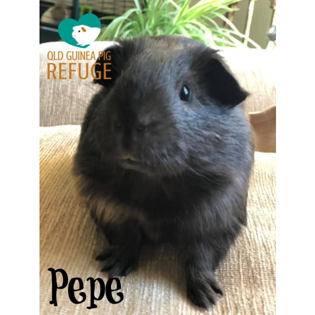 Photo of Pepe (Desexed Male)