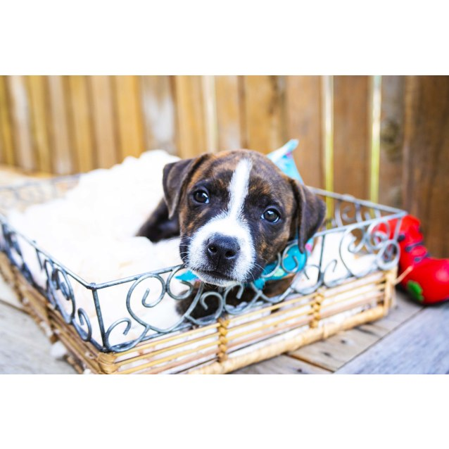 Photo of April ~ Cuddly Staffy X Puppy (On Trial 22/2/19)