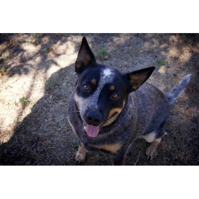 Photo of Stella ~ 18 Month Old Cattle Dog