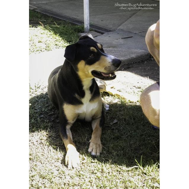 Photo of Rocko ~ 2 Year Old Kelpie X (On Trial 27/3/19)