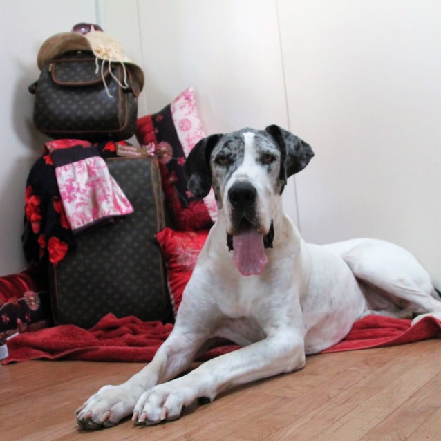 Photo of Libby ~ 5 Year Old Great Dane