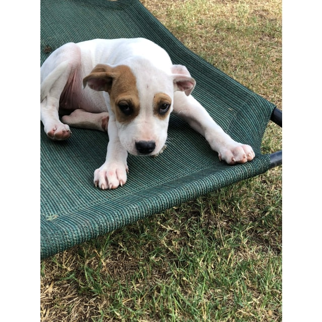 Photo of Gilly ~ Sweet Boxer X Female Puppy