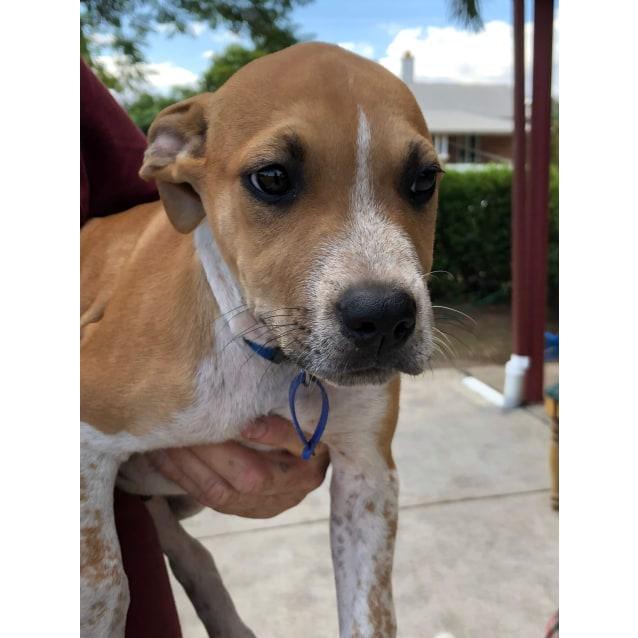 Photo of Joey ~ Cuddly Staffy X Bull Arab Male Puppy