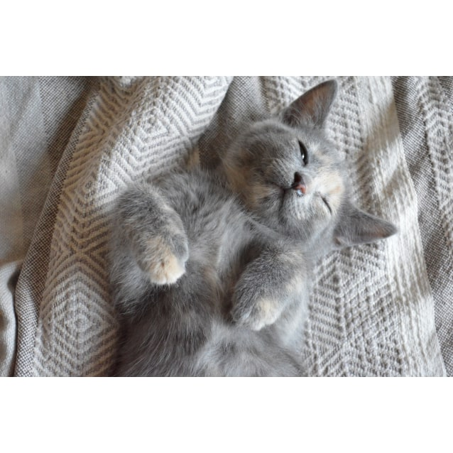Photo of Lovely Rita The Dilute Grey Tortie Beatle Kitten!