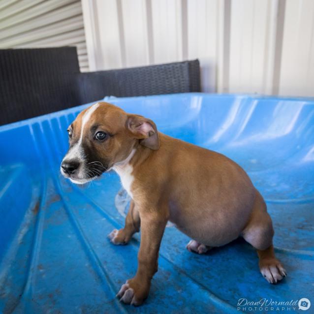 Photo of Mitta ~ Playful Staffy X Bull Arab X Puppy