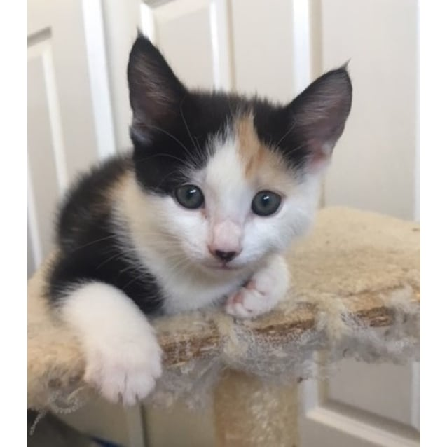 Photo of Lupin   8 Week Old Female Kitten