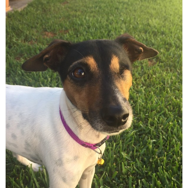 Photo of Susie ~ 2 Yr Old Fox Terrier (On Trial 8/5/19)