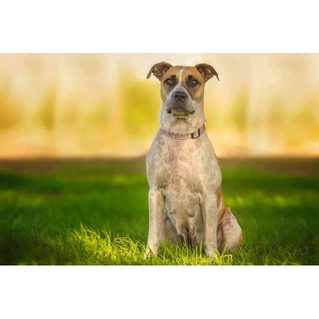 Photo of Abby Girl ~ 3 Year Old Cattle Dog X Staffy