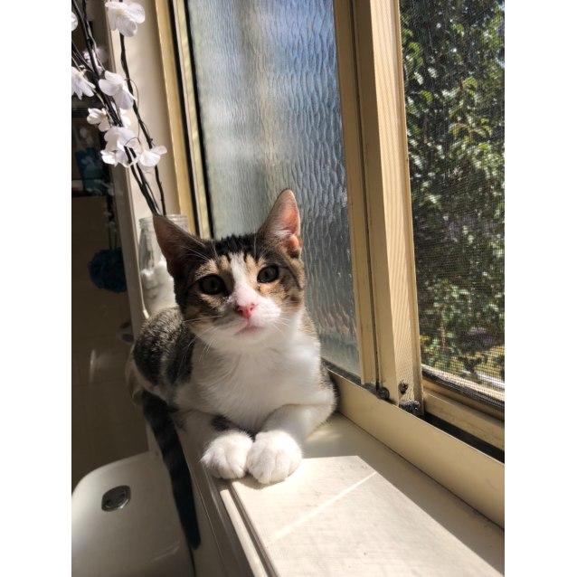 Photo of Leo The Lovely Lion Kitten!