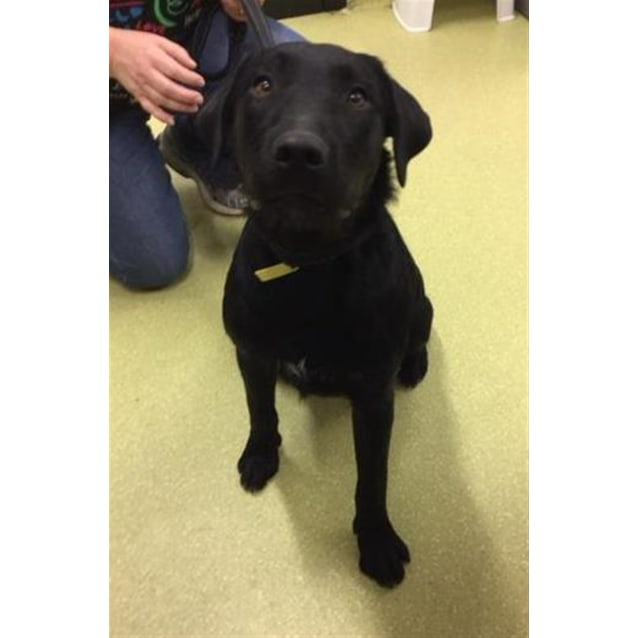 Logan Large Male German Wirehaired Pointer X Labrador Retriever