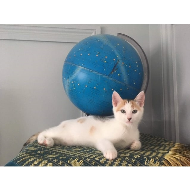 Photo of Perfect Pinto   Sweet Female Kitten