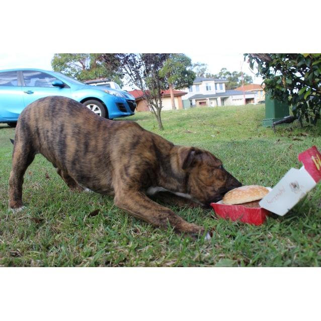 Photo of Adopt A Bull   Big Mac