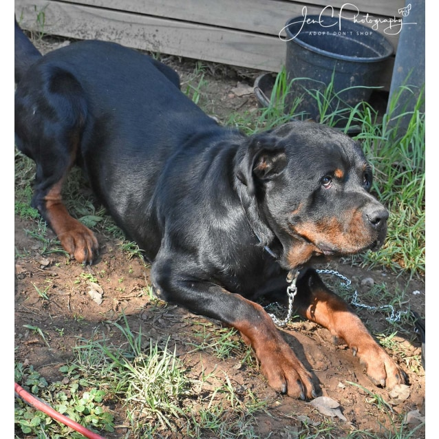 Photo of Sebastian ** Pure Bred Rottweiler **