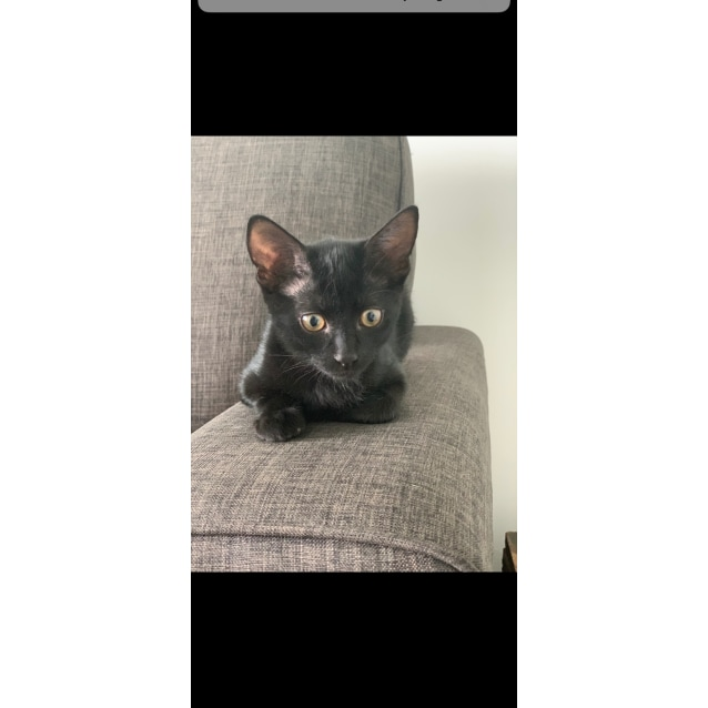Photo of Shadow ~ Kitten (On Trial 7/4/19)