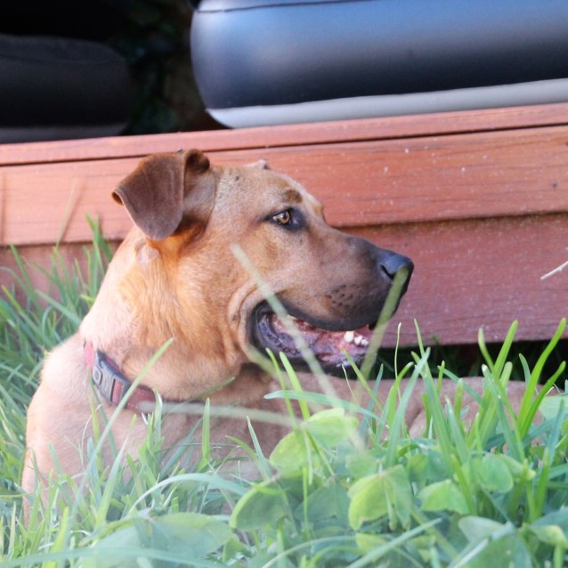Photo of Duke ~ 12 Month Old Ridgeback X