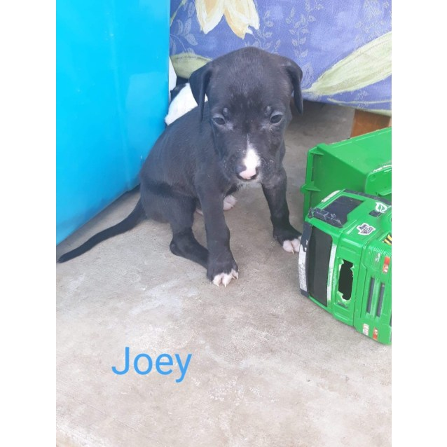 Photo of Joey ~ Adoption Special $295 ~