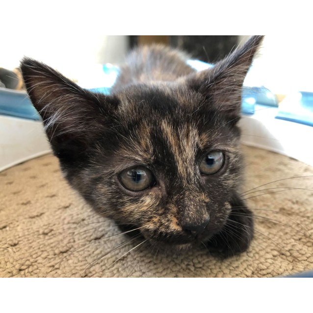 Photo of Sierra **2nd Chance Cat Rescue**