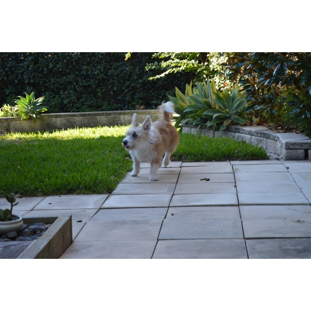 Photo of Maddy ~ Corgi X Terrier (On Trial 9/6/19)