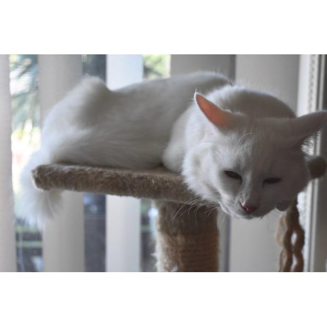 Photo of ❤️6 Mth Super Lovebug Onyx   Turkish Angora X❤️