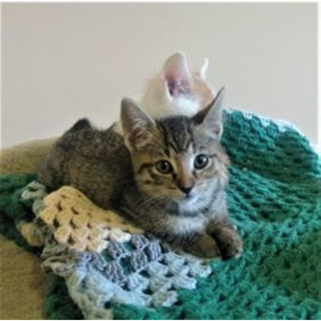 Photo of Pixie   Fun And Cheeky Kitten
