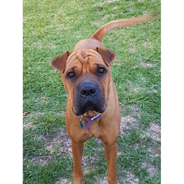 Photo of Molly ~ 18 Month Old Boxer X Shar Pei