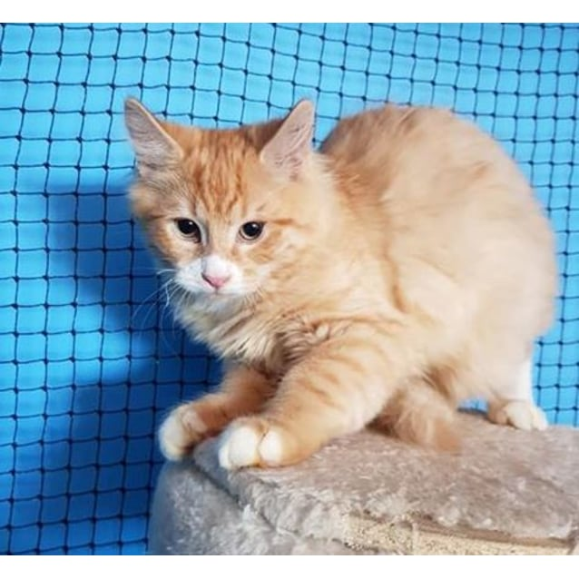 Photo of Lipton **2nd Chance Cat Rescue**