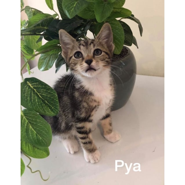 Photo of Pya