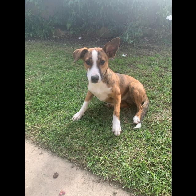 Photo of Lola ~ Whippet X (Pend. Adoption)